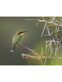 Little Bee-eater by Steve Russell