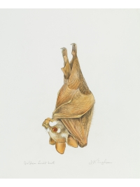 Golden Fruit Bat by Jonathan Kingdon