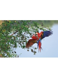 Macaws by Steven Russell