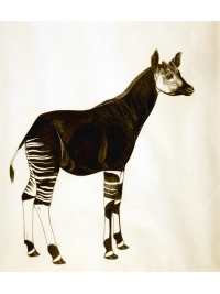 Okapi by Jonathan Kingdon