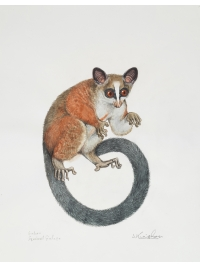 Gabon Squirrel Galago by Jonathan Kingdon
