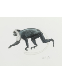 King Colobus by Jonathan Kingdon
