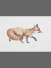 Red Fox by Jonathan Kingdon