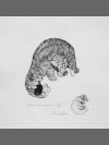 Ground Pangolin by Jonathan Kingdon